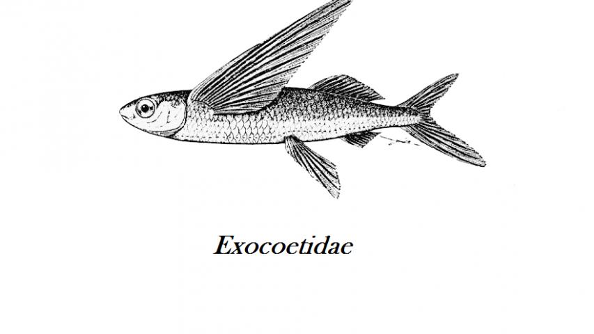 Flyvefiskerogn er små korn som passer godt til sushi