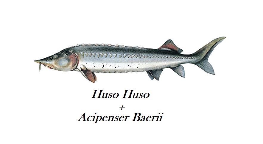 Beluga Baerii er et mix der giver en helt fantastisk og lidt billiger udgave af Beluga